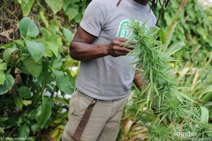 Marijuana in Jamaica.