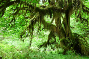 Hall of Mosses, Olympic National Park (Photo courtesy John Walker)
