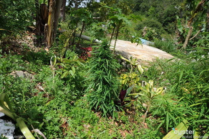 A marijuana plantation in Nine Mile, Jamaica.