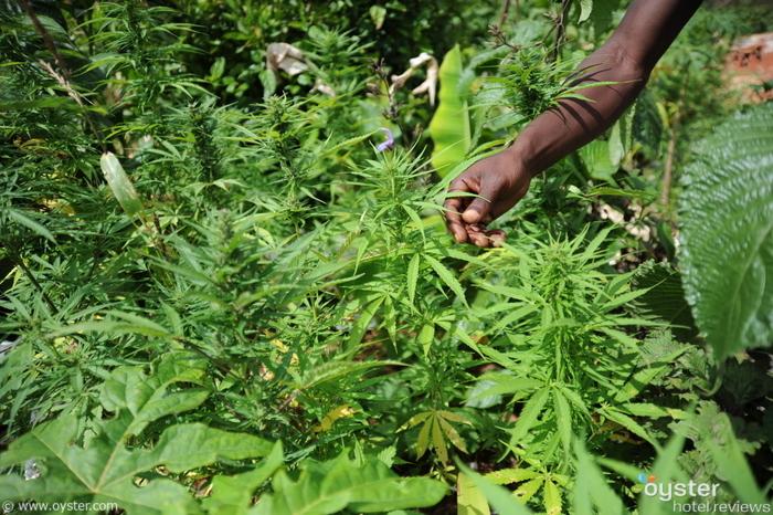 Marijuana plantation in Nine Mile, Jamaica.