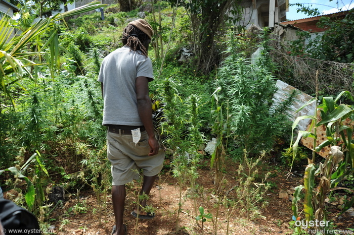 For a small plot of land this plantation had an impressively wide variety of marijuana plants.