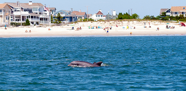 Dolphin swimming off the coast of Cape May; Photo Credit: Flickr.com/mbtrama