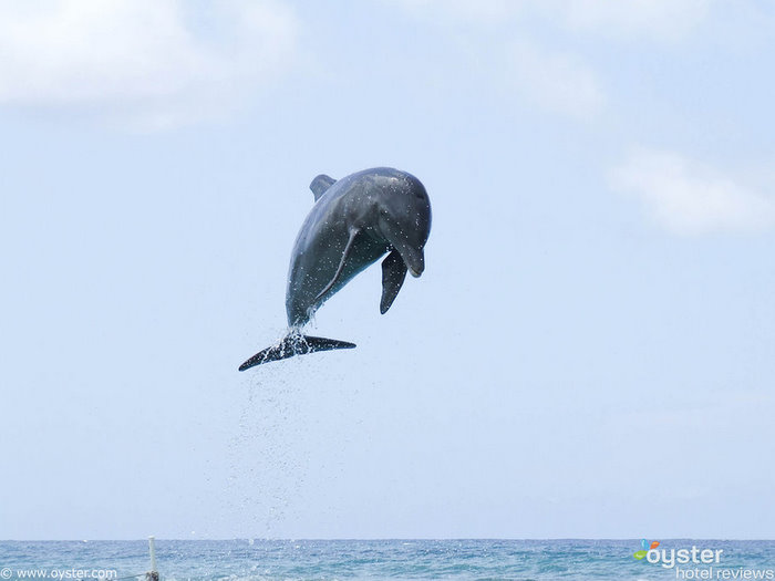 Families can swim with dolphins in a private cove at Half Moon resort, Jamaica.