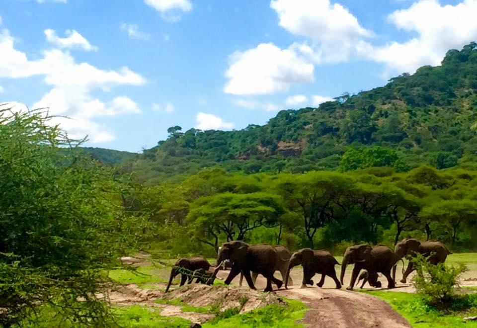 Elephants crossing our path in Lake Manyara