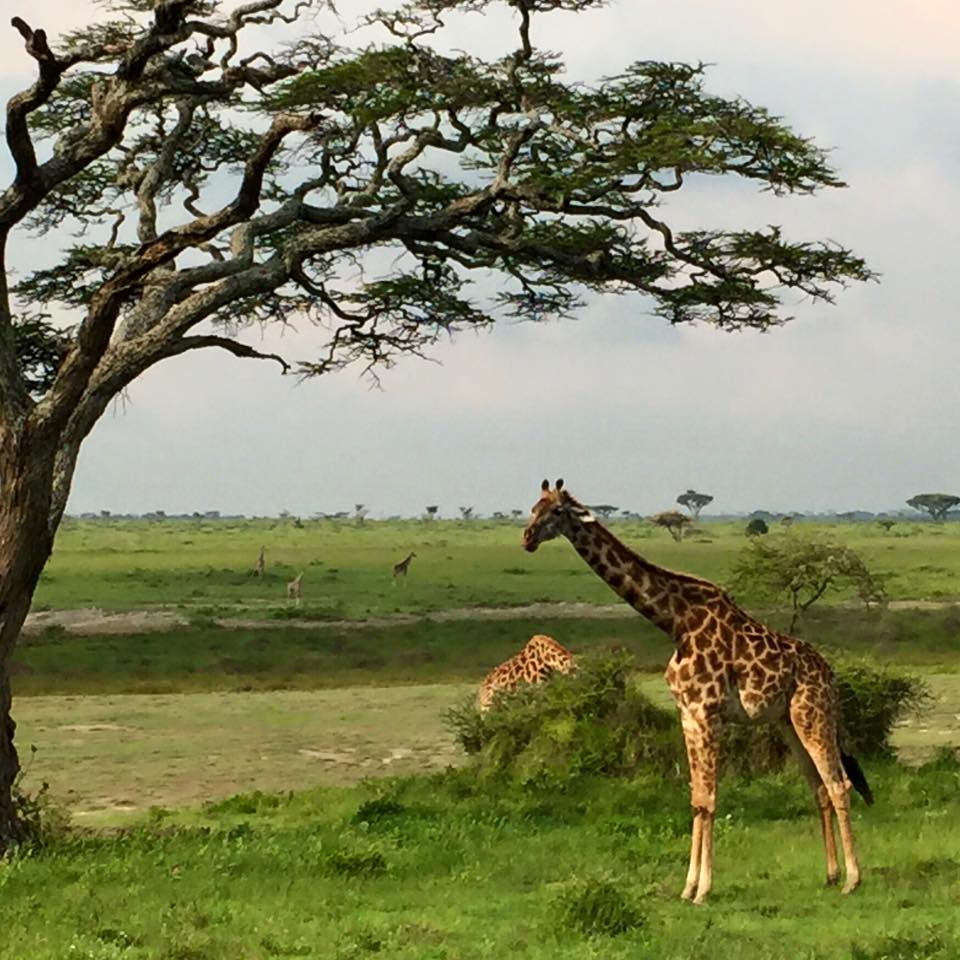 A family of giraffe's during one of our game drives