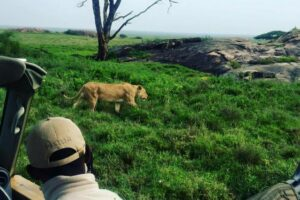 Our Asilia guide getting us close to a lion