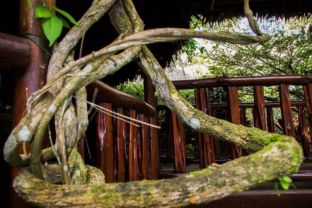 Ayahuasca vine photo by Paul Hessell via Flickr