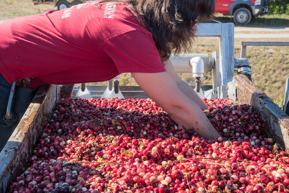 Pulling out debris before the berries head on the truck; Photo by Katherine Alex Beaven