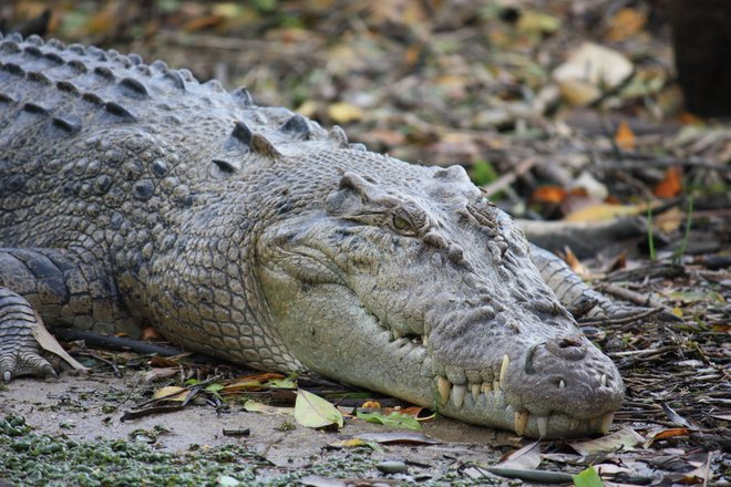 Imagem de crocodilo de água salgada (estuarina) cortesia de Jan Smith via Flickr