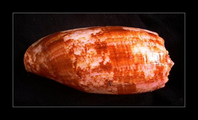 Cone caracol imagem cedida por Richard Parker via Flickr