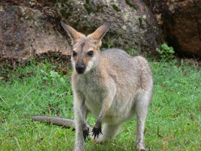 Kangaroo Bild mit freundlicher Genehmigung von Flying Cloud über Flickr