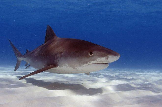 Immagine dello squalo tigre per gentile concessione dell'Oregon State University tramite Flickr