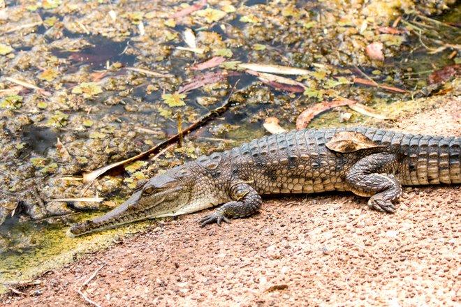 Imagem de crocodilo de água doce cortesia de Andrea Schaffer via Flickr