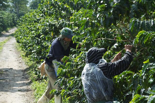 Una piantagione di caffè in Colombia. fPhoto per gentile concessione di McKay Savage