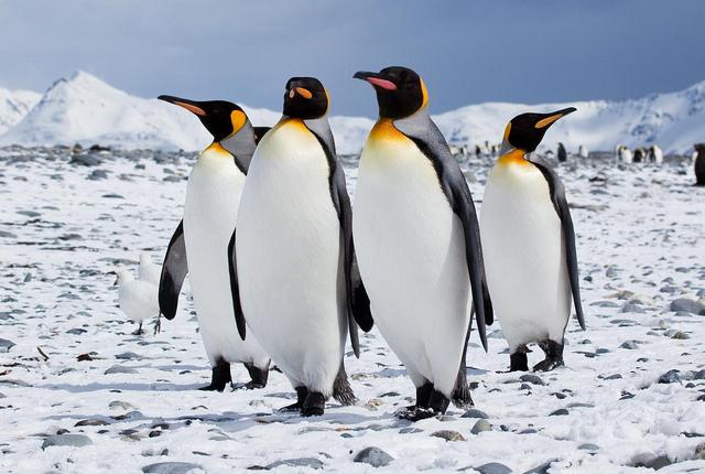 Emperor penguins in Antarctica. Courtesy of Flickr/Antarctica Bound
