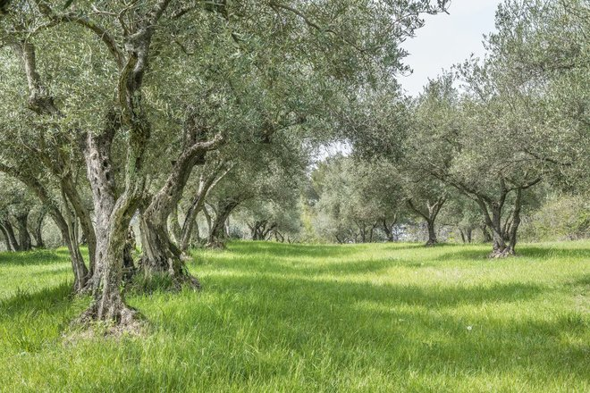 Olive grove in Istria courtesy of Colours of Istria