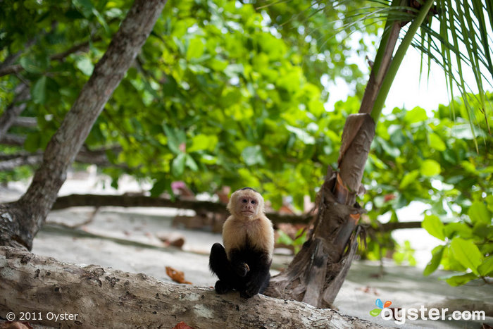 Spot a white-faced capuchin monkey in Costa Rica?