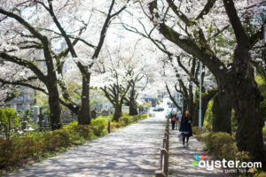 Cherry blossoms, Tokyo/Oyster