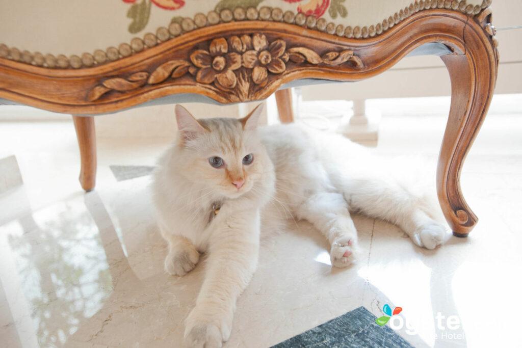 Fa-Raon, el gato birmano de Le Bristol París / Oyster