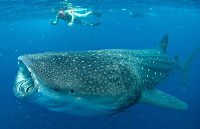 Swim With Whale Sharks in Cancun/Viator