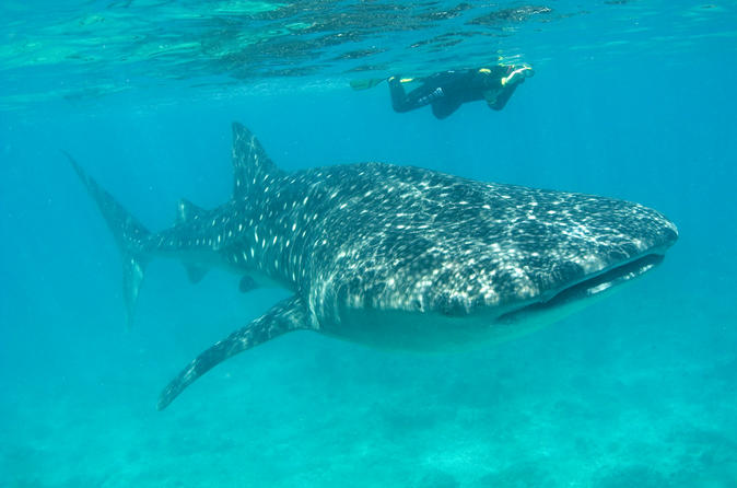 Whale Shark Group Adventure From Isla Holbox/Viator