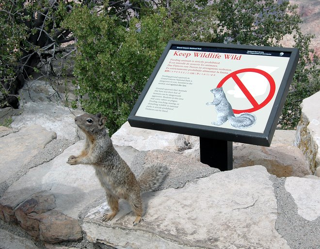 Grand Canyon rock squirrel; Michael Quinn via Grand Canyon National Park/Flickr