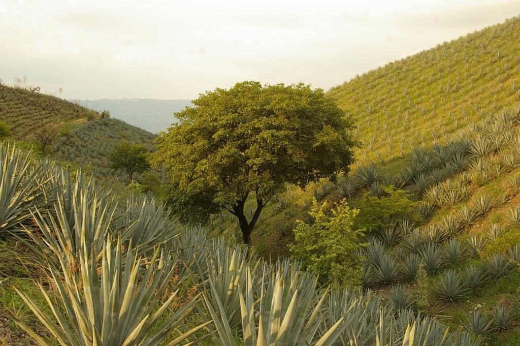 A little tree in Tequila, Jalisco