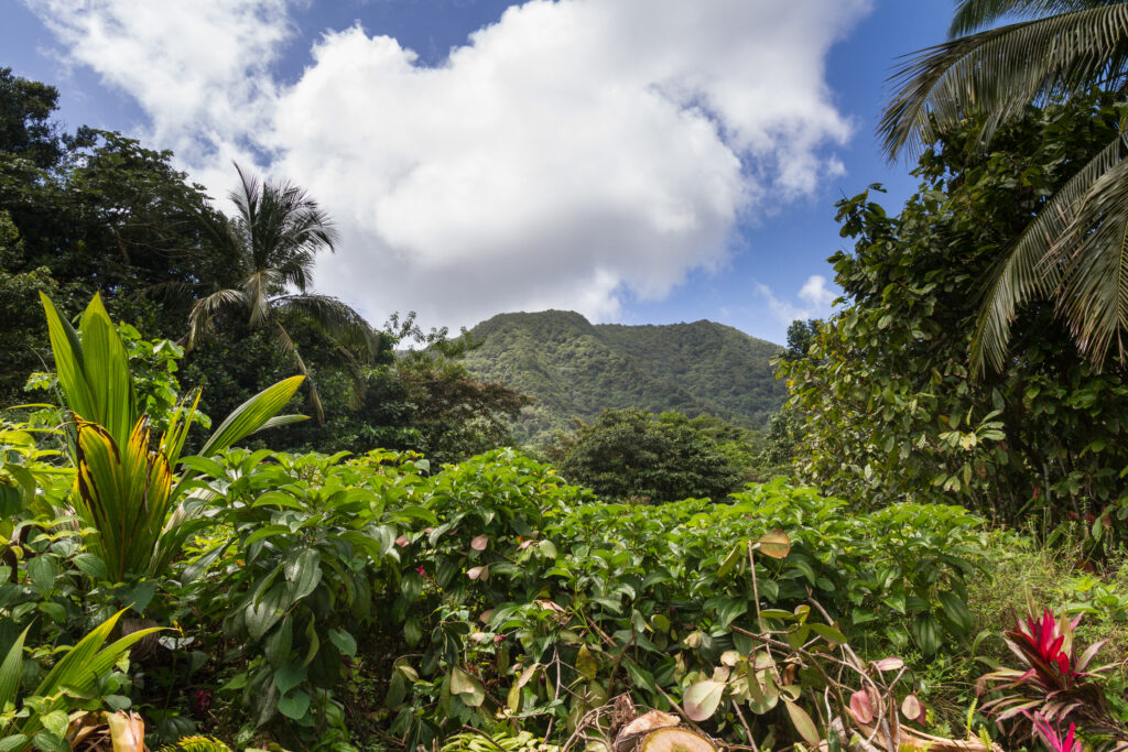 Wild rainforest on Dominica