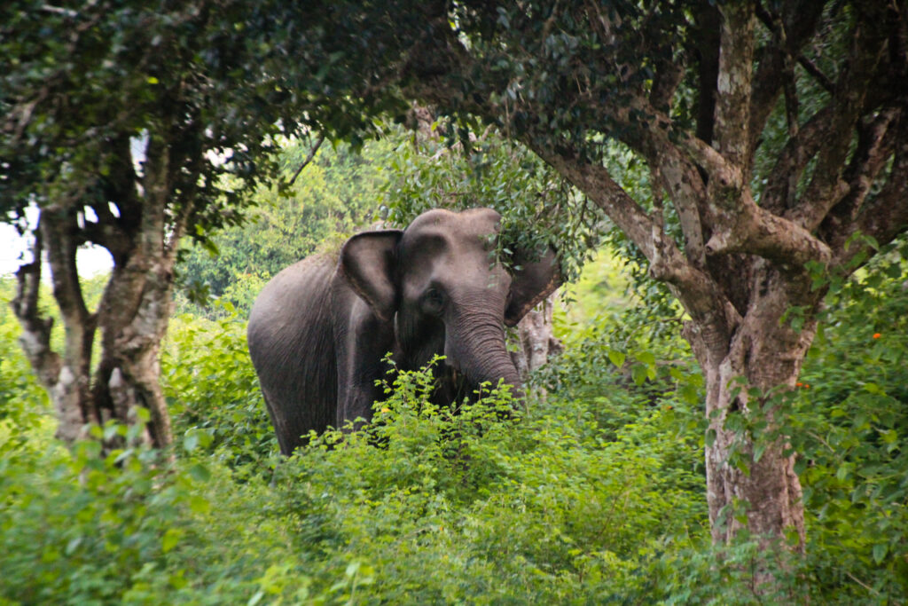 Elephant in Yala National Park, Sri Lanka