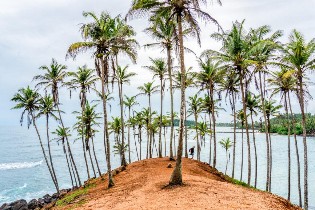 Palm trees at Mirissa Beach in Sri Lanka