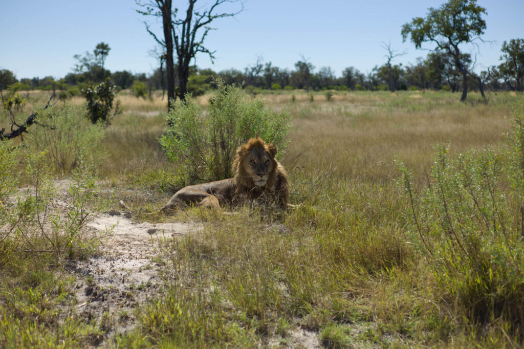 Lion on Safari in Botswana