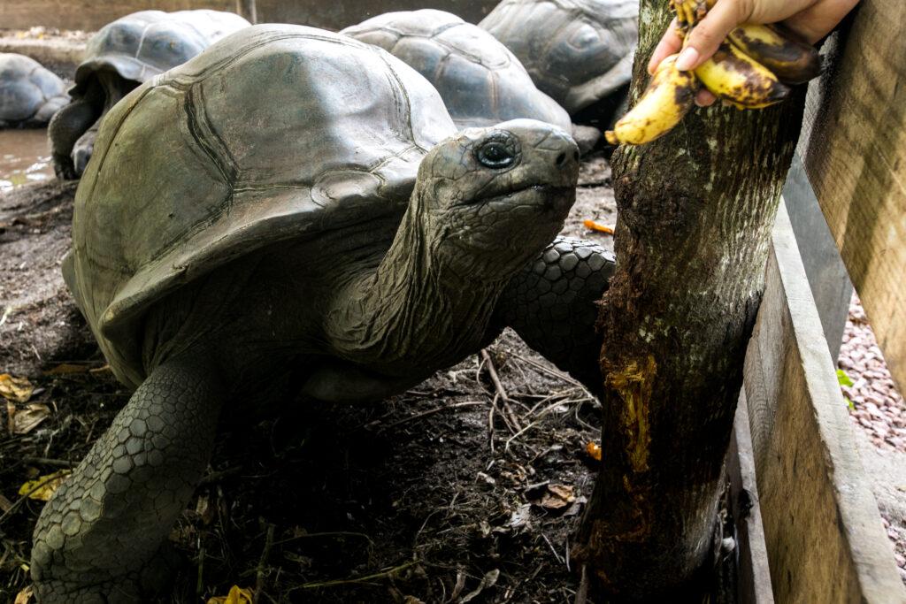 Giant tortoise at raffles in praslin