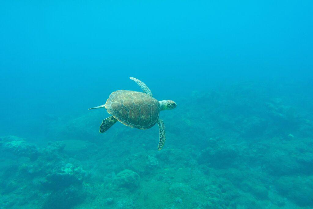 Sea turtle in Saba, Caribbean Netherlands