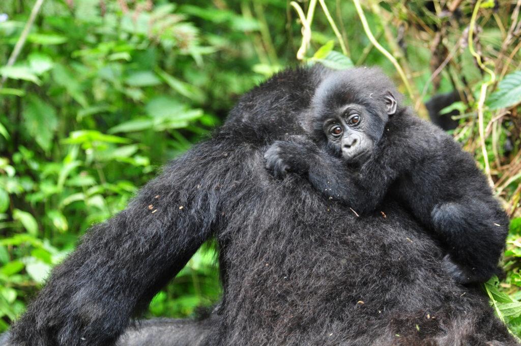 Sanctuary Gorilla Forest Camp, Uganda