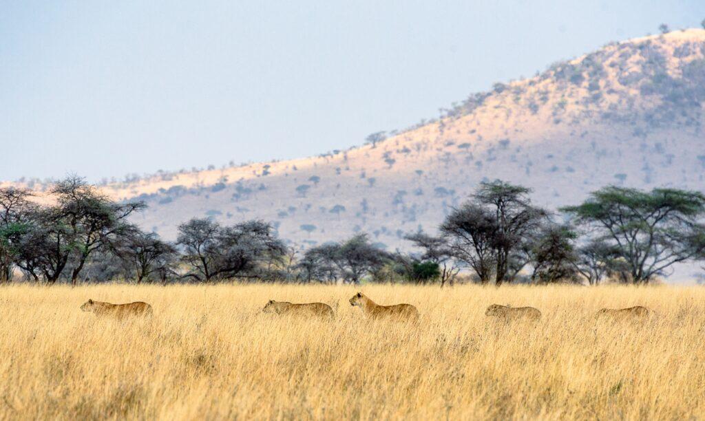 Serengeti Africa Lions