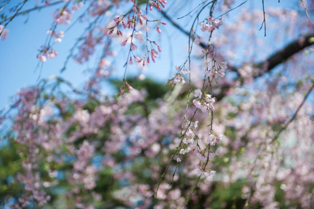 Odaiba, Tokyo tree blossoms