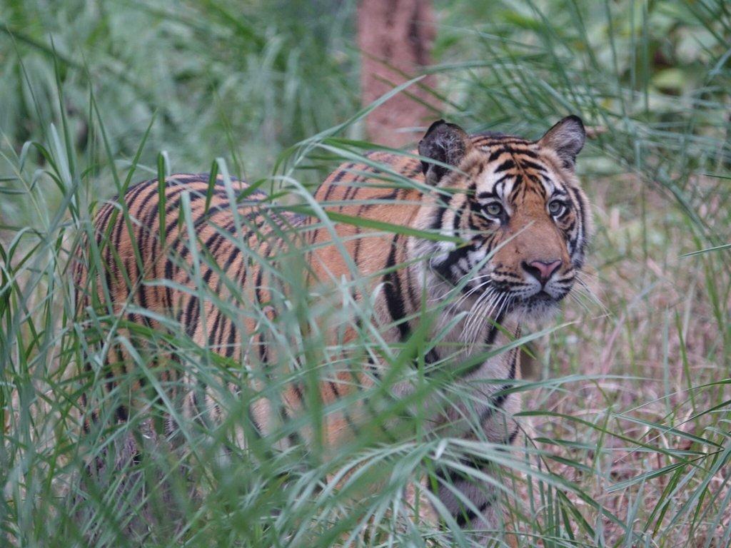 Tiger in Bandhavgarh National Park, India