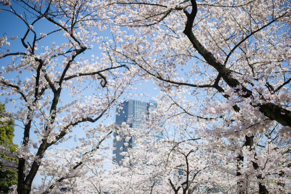 Tokyo's cherry blossoms
